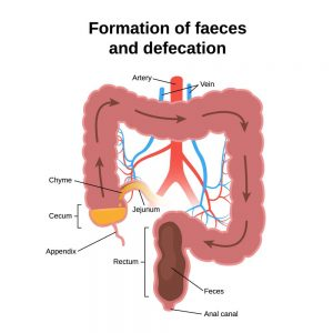 Formation of faeces